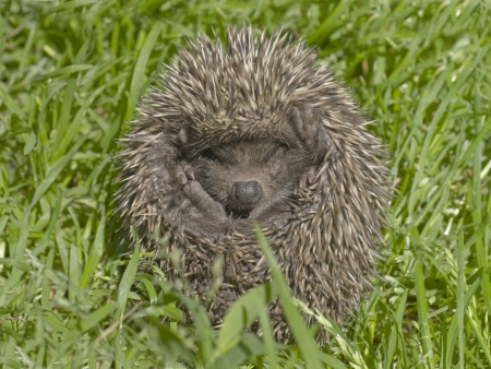 Small hedgehog in a green grass. Stock Photo - 14286578