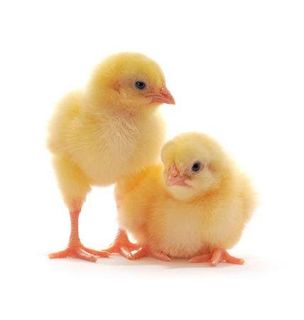 hatchery: Two yellow chickens who are represented on a white background