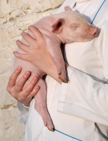 Pig who is in female hands Stock Photo