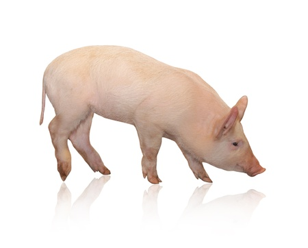 siembra: De cerdo, que se representa sobre un fondo blanco