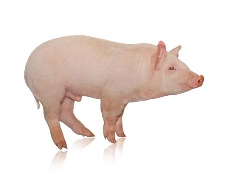 porcellini: Pig che � rappresentato su uno sfondo bianco Archivio Fotografico