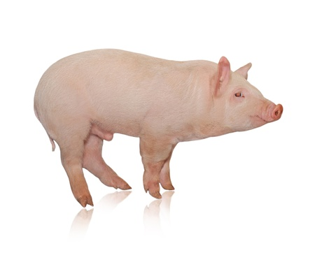 sow: Pig who is represented on a white background
