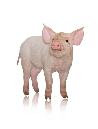 represented: Small pig who is represented on a white background