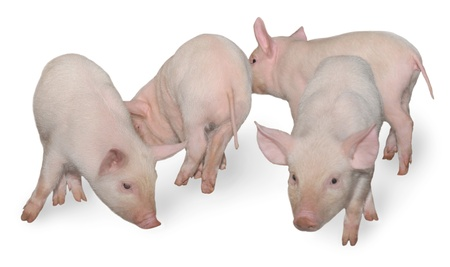 Four pigs who are represented on a white background. photo
