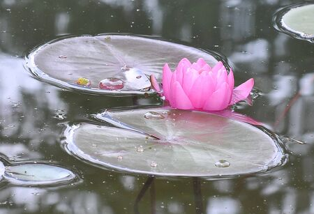A pink water lilly also called a lotus - in a pond surrounded by floating leaves  photo