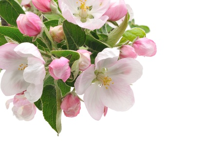 apple tree blossom isolated on white background photo