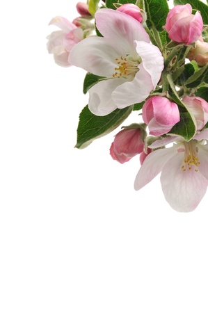 apple tree blossom isolated on white background Stock Photo - 14361177