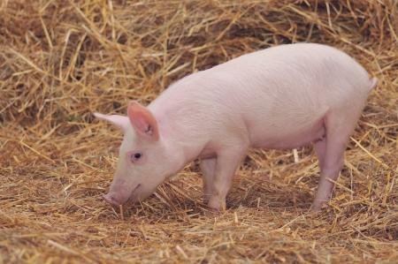A lone pig standing in a bed of Straw