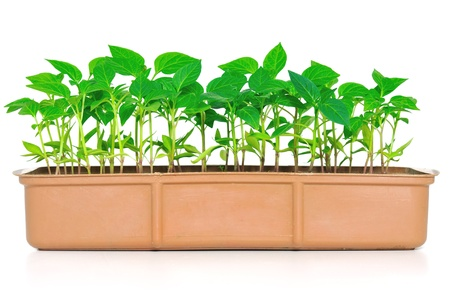 Garden pepper cress in tray isolated on white  photo