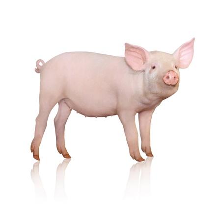 Schwein, das auf weißem Hintergrund dargestellt wird, Standard-Bild