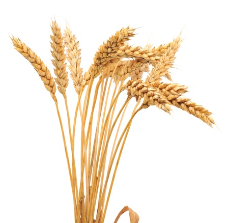 wheat isolated: Isolated bunch of golden wheat ear after the harvest.