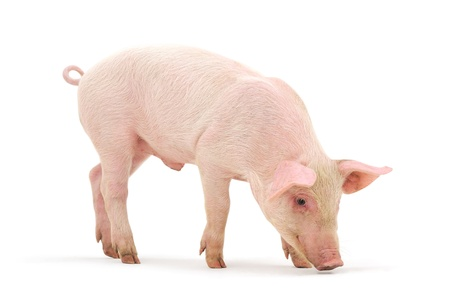 farm background: Pig who is represented on a white background