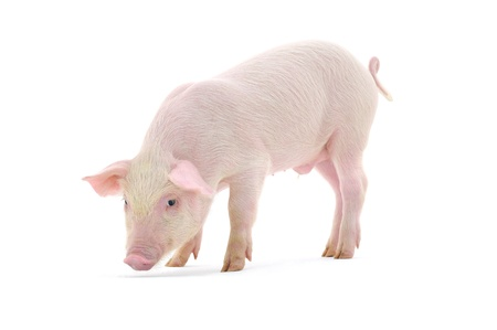 Pig who is represented on a white background  photo
