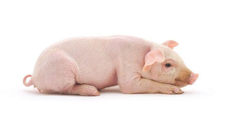 represented: Pig who is represented on a white background
