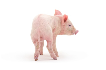 shot from behind: Pig who is represented on a white background
