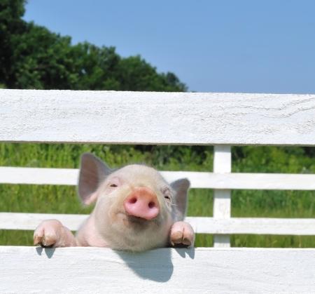 animales de granja: peque�o cerdo en una hierba Foto de archivo