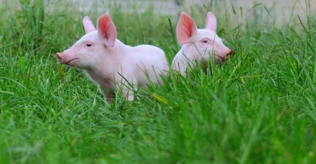 animal farm: small pigs on a grass