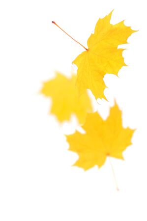 Falling maple leaves isolated on white photo