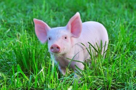 cerdos: peque�o cerdo en una hierba Foto de archivo