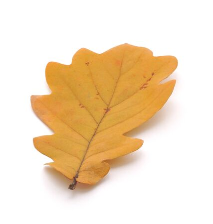 Dry oak leaf on white background photo