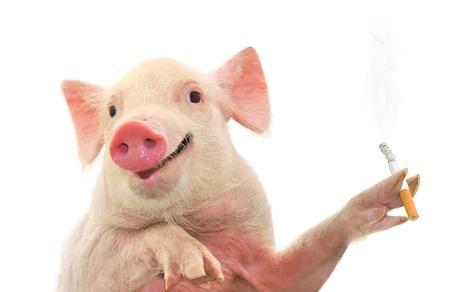 돼지 금연 담배. 흰색에 격리. 스톡 콘텐츠