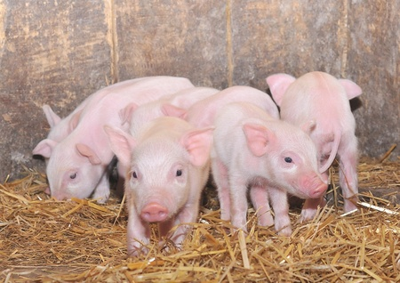 pigpen:  Pink pigs standing in a bed of straw  Stock Photo