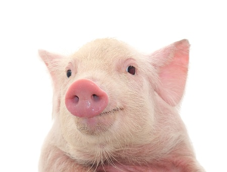hairy adorable: Portrait of a cute pig, on white background