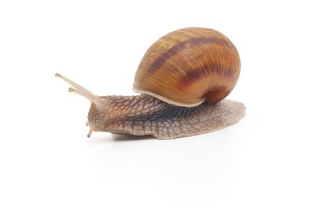 정원 달팽이 흰색 배경에 고립