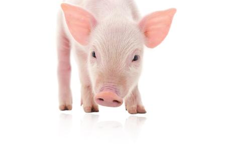 Schwein, das auf weißem Hintergrund dargestellt wird, Standard-Bild - 14477195