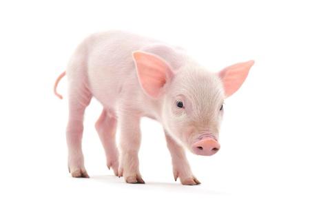 Schwein, das auf weißem Hintergrund dargestellt wird, Standard-Bild - 14477176