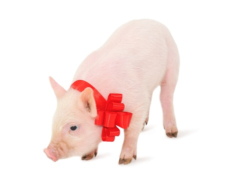 piglet with a red ribbon over white  Stock Photo