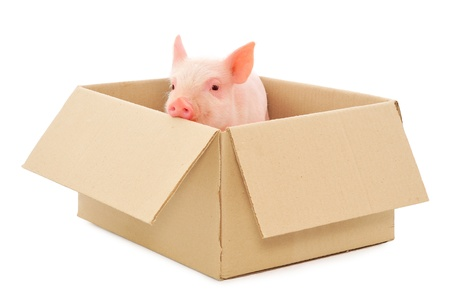 Pig in box on a white background