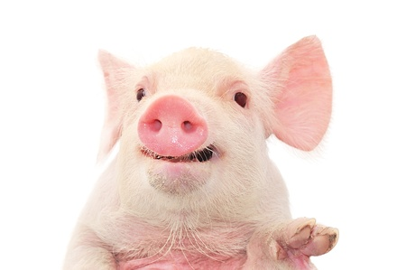 pig nose: Portrait of a cute pig, on white background
