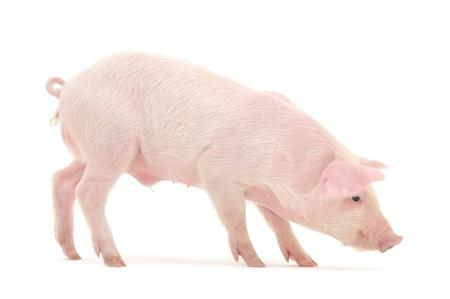 Pig, die auf weißem Hintergrund dargestellt wird Standard-Bild - 14477341
