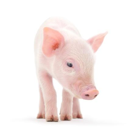 white tail: Pig che � rappresentato su uno sfondo bianco Archivio Fotografico