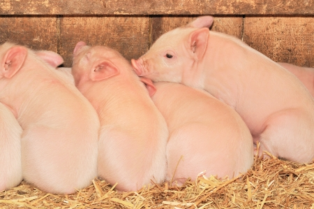 Cute little piglets sleeping together all on top of each other photo