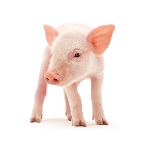 白い背景の上に表されている豚 写真素材