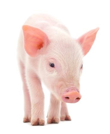 Pig who is represented on a white background Imagens - 14498940