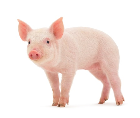 domestic animal: Pig who is represented on a white background