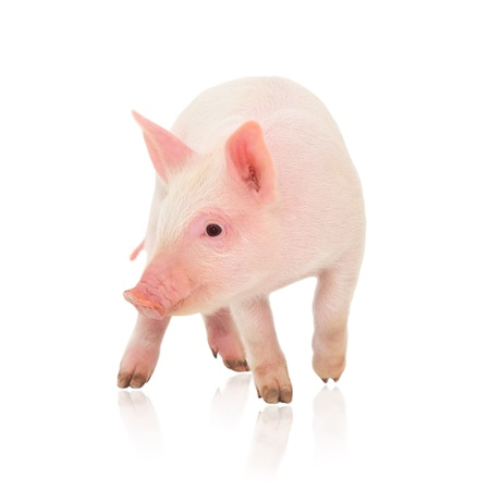 Pig who is represented on a white background Imagens - 14498911