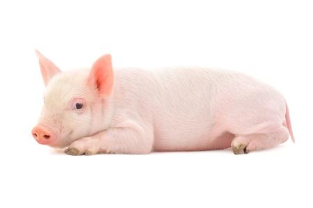 Schwein, das auf weißem Hintergrund dargestellt wird, Standard-Bild - 14498959
