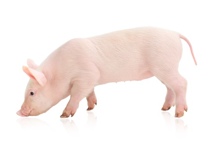 Pig who is represented on a white background Imagens - 14498950