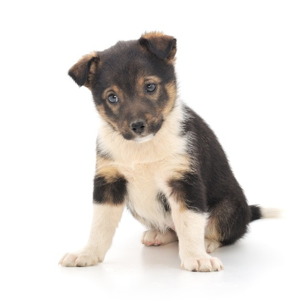 clr: A little pup isolated on a white background.