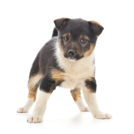 A little pup isolated on a white background. Stock Photo - 14499023