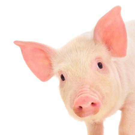 De cerdo, que se representa sobre un fondo blanco