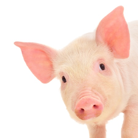 Pig who is represented on a white background Imagens - 14499035