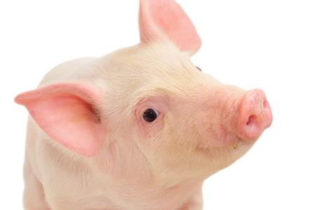 Ritratto di un maiale cute, su sfondo bianco