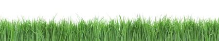 gramineas: Panorama perfecta hierba verde sobre fondo blanco