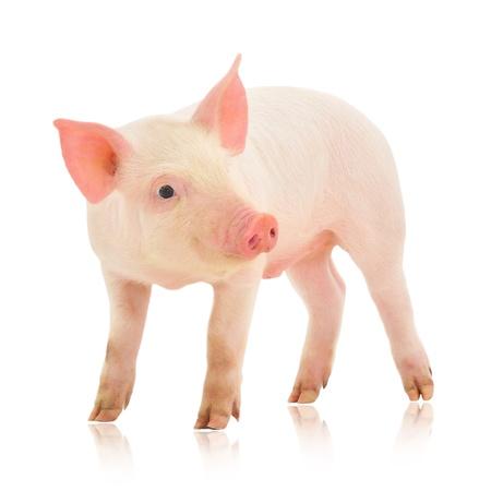 Pig, die auf weißem Hintergrund dargestellt wird Standard-Bild - 14517732