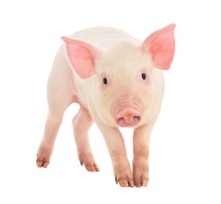 Schwein, das auf einem weißen Hintergrund dargestellt wird Standard-Bild - 14517696